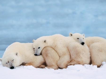 科学家称:全球气温变暖将可能导致北极熊溺死
