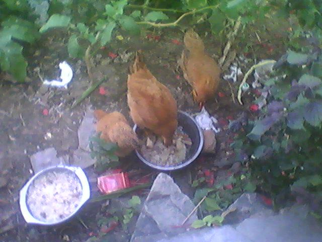 小鸡1.jpg