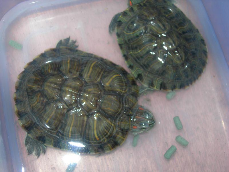 两只小乌龟