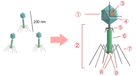 一个典型的有尾噬菌体的结构:①头部,②尾部,③核酸,④头壳,⑤颈部,⑥尾鞘,⑦尾丝,⑧尾钉,⑨基板